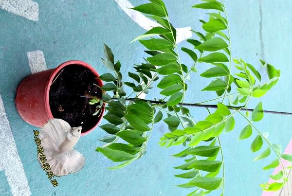[5吋盆 咖哩樹盆栽 葉子為咖哩原料] 活體香草植物盆栽,可食用.料理 ~半日照佳~先確認有沒有貨