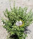 5吋盆 [大檸檬百里香盆栽 葉子帶檸檬香味 ] 活體香草植物盆栽, 可食用.料理或泡茶~半日照佳~