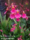 ★Mini Star★ 千姿蘭園Chian-Tzy Orchids  迷你蘭花 文心蘭 Oncidium -千姿小櫻桃