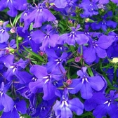 CARMO 六倍利種子 園藝種子(單份)【FR0103】