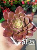 [紅豆 進口多肉] 活體多肉植物 多肉植栽 3吋黑色/白色方盆 ~送禮小品盆栽~ 室外半日照佳