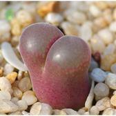 ⓒ肉錐C.friendrichii種子(10顆裝) 肉錐種子【A56】