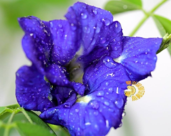 重瓣蝶豆花 5吋活體盆栽, 可食用可泡茶 變色飲料, 天然花青素