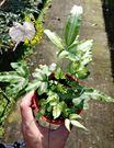 [鳳尾蕨] 3寸盆 活體蕨類植物  送禮...