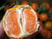 3月大箱全台最甜橘子 桶柑★花蓮無毒農業15斤原生種