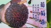 花花世界_季節水果--葡萄桑(高壓苗)--**果大且甜**/4.5吋盆/高80-100cm/TP