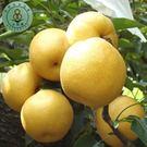 【綠安生活】吉園圃大湖9A新興梨9粒1盒(330g±10%/粒)-清甜多汁