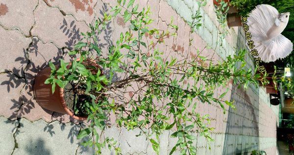[石榴果樹 石榴盆栽] 5-6吋盆 活體果樹植物盆栽