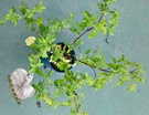 [ 泰式料理 打拋葉盆栽 荷力蘿勒 聖羅勒 5吋盆] 香草植物/藥用植物活體盆栽 可食用可泡茶