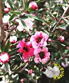 高 [松紅梅盆栽] 紅粉色迷你梅花盆栽 7寸盆 室外多年生觀賞花卉盆栽