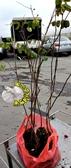 1株價錢! [花旗木樹苗 泰國櫻花樹苗] 3吋黑軟袋 多年生活體花卉盆栽 . 種地上或換大盆子才長得快