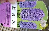 [藍夾克] 超香 紫色風信子  2.5寸盆 室內濃香花卉 多年生球根類觀賞花卉盆栽