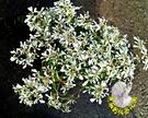 [聖誕白雪] 5寸盆 室外季節植物 多年生觀賞花卉盆栽