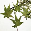 楓葉標本  滴膠乾花DIY手工花材押花材料乾花標本植物教學標本12片裝
