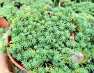 [薄雪萬年草] 活體多肉植物 3吋多肉植栽 組合盆栽 半日照佳 送禮首選小盆栽