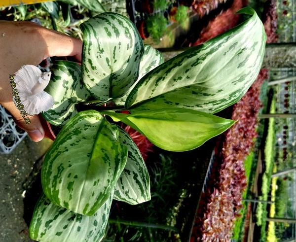 [粗肋草] 室內植物  3吋活體盆栽 送禮小品盆栽