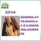 【綠藝家】P04.觀賞玉米種子(彩虹)5...