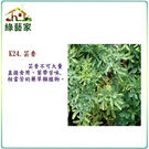 【綠藝家】大包裝K24.芸香種子800顆...