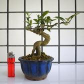 明陽盆栽園*【金豆柑】樹高14*左右18*幹徑3.5cm 適合做小品盆景 好照顧 易開花結果