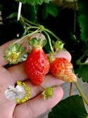 [豐香草莓苗 蜂香草莓苗] 2.5-3寸盆 最常見的草莓品種 ~換大盆子才會比較快開花結果~