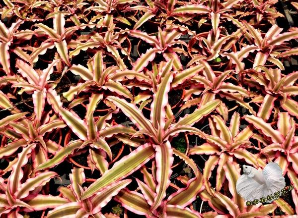活體 [紅鳳梨花] 室內植物 3吋盆栽