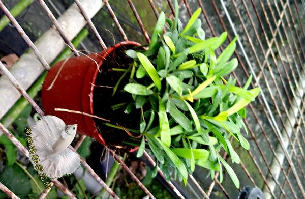 活體 羅漢松小盆栽 室內植物3吋盆栽