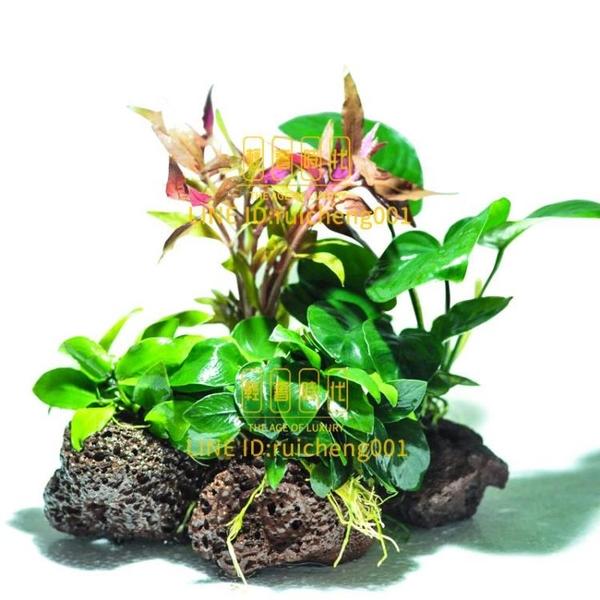 火山石水草魚缸造景沉木水榕水草活體淡水植物懶人