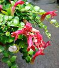 [甜心口紅花吊盆] 5-6寸盆 室內多年生觀葉植物盆栽 半日照佳