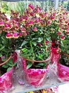 花花世界_季節花卉--朵拉提燈花--/5吋盆/高30~40CM/TC