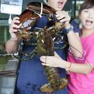 ㊣盅龐水產 ◇戰神龍蝦 ◇活體波士頓龍蝦2.5公斤以上 ◇ 2500g±10%/隻 保證巨螯