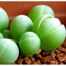 CARMO銀光玉多肉生石花種子(10顆裝)【A11】