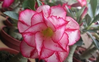 多肉植物 ** 沙漠玫瑰-分花色(接近) ** 5吋盆/高15-25公分 /花色多種艷麗好種【花花世界玫瑰園】R