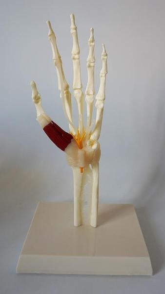 尺寸兩種以上請詢問報價自然大手關節帶肌鍵韌帶神經模
