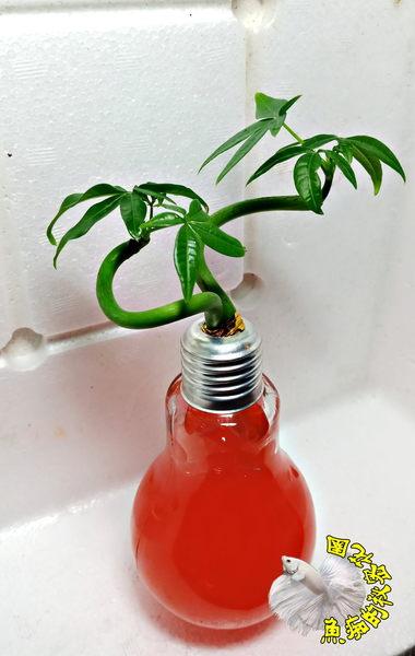 橘紅色水晶泥 [玻璃燈泡瓶+水耕彎曲發財樹 馬拉巴栗 美國花生 發財樹盆栽] 辦公室植物