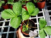 [可食用白花草莓苗 3吋草莓小盆栽] 活體盆栽 送禮小品盆栽
