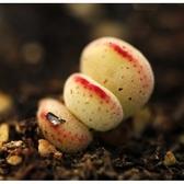CARMO青鎖龍繡樓種子(10顆裝) 多肉植物種子【C66】
