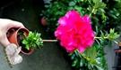 活體 [紅色玫瑰杜鵑花] 室外植物 3吋...