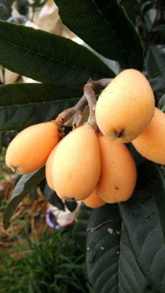[台東]採果體驗-曲禾酒莊(枇杷)