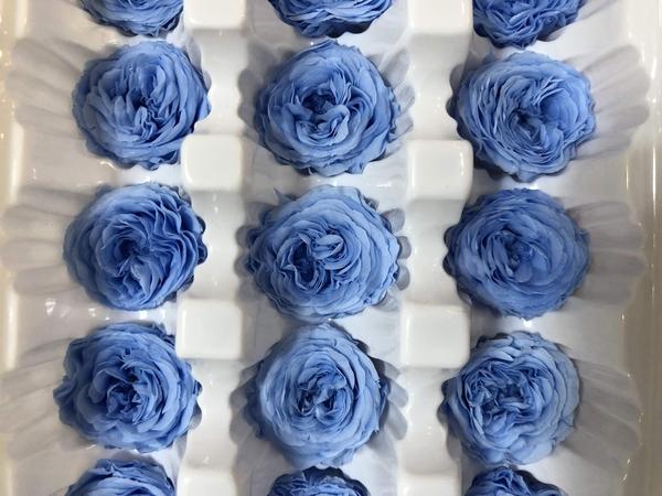 永生花玫瑰,奧斯丁2-3公分藍白雙色,單朵價格