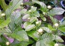 圍籬植物 ** 虎頭茉莉 ** 6吋盆 / 高30-40公分/ 淡雅清新【花花世界玫瑰園】R