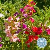 CARMO鳳仙花混色種子 園藝種子(30顆) 【FR0041】