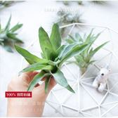 ⓒ食蟲鳳梨Catopsis morreniana—積水鳳梨【KF095】