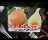 水果苗** 短橋無花果 **6吋盆/高20-30公分/無花果中的稀有品【花花世界玫瑰園】R