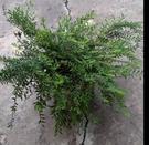 花花世界_襯景植物--錫蘭葉下珠--優良...