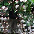 蔓性灌木 ** 白玉蝶(垂茉莉) ** 7吋盆/ 懸垂穗狀白色花【花花世界玫瑰園】R