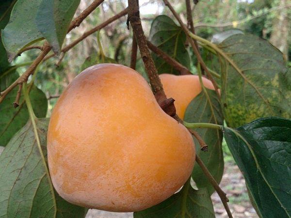 [嘉義]採果體驗-柿子哥果園〔10-11月柿子、8-9月龍眼〕