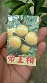 水果苗 ** 帝王柑 ** 4.5吋盆/高35-40cm/大果耐儲運【花花世界玫瑰園】R