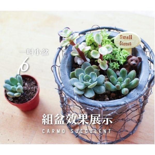 X隨機多肉植物小盆1吋(成株-景天科) x 台灣農場【Z0004】