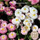 CARMO雛菊種子 園藝種子(50顆) 【FR0037】
