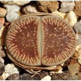 CARMO流水日輪玉C54種子(10顆裝) 多肉植物種子【A22】